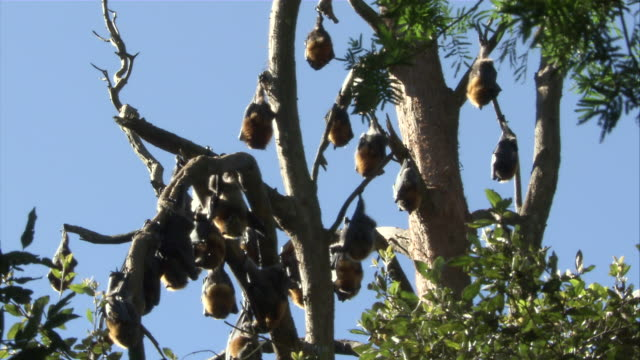 MS colony of flying foxes hanging from branches in tree / Sydney , Australia