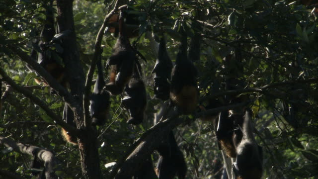 MS Colony of flying foxes hanging upside down in tree / Sydney , Australia
