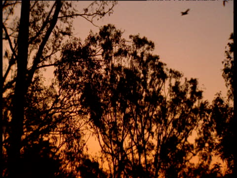Colony of grey headed fruit bats leave roost for the night, Australia