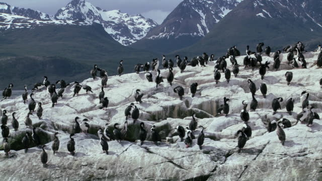 WS PAN Colony of Imperial Shags (Phalacrocorax atriceps) on rocks at Beagle Channel / Ushuaia, Argentina