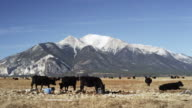 Colorado landscape with cows