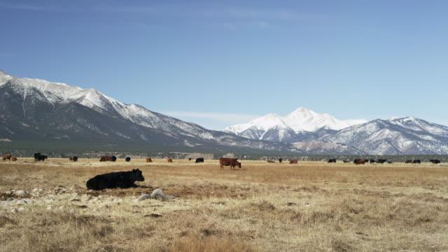 Colorado landscape with cows