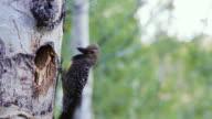 Colorado Woodpecker Feeding Babies