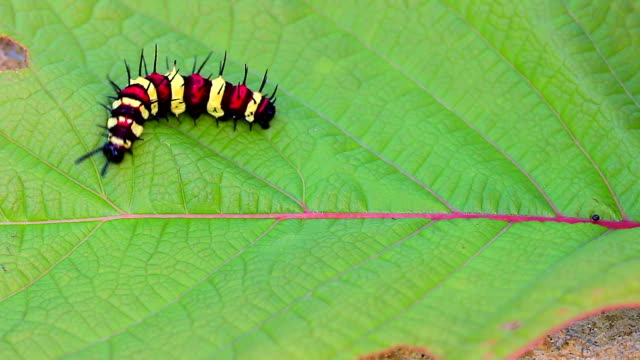 Colorful caterpillar on the red leaf