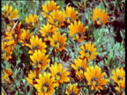 Colorful gazania flowers in Karoo desert