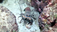 Colorful lobster crawling along the sand out in the open at night, Cocos Island, Costa Rica.