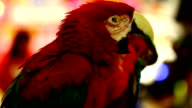 colorful parrot macaw