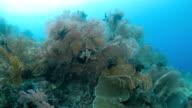 Colorful sea fan coral pinnacle