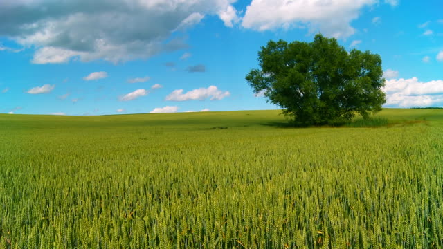 HD CRANE: Colorful Wheat Field
