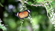 Bunte Schmetterling