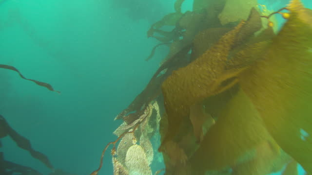 Colourful kelp branches sway in the ocean's current. Available in HD.