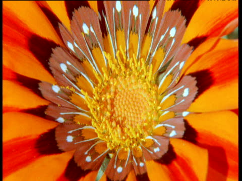Colourful orange Gazania flower in Karoo desert