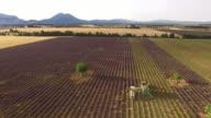 AERIAL Combine harvesting lavender in Provence