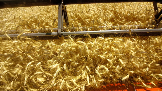 Combine Head Cutting Wheat Crops (Super Slow Motion)