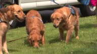 WGN Comfort Dogs Loaded Into Van on May 22 2013 in Chicago Illinois