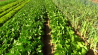 Commercial Vegetable Garden Flyover