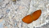 Algemeines Yeoman Schmetterling