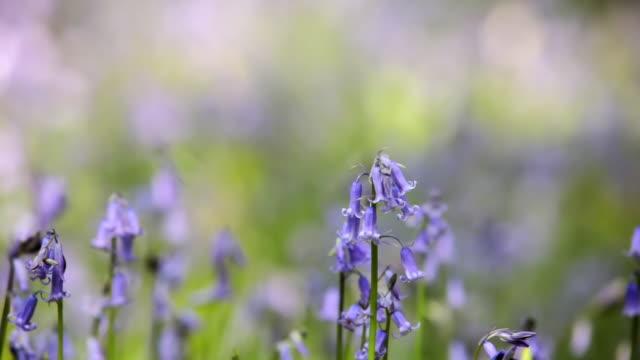 CU R/F Common Bluebells (Hyacinthoides non-scripta), Essex, England