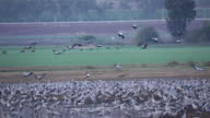 Common Crane (Grus grus)- flying craned landing into a crouded flock in an open field, loud voices