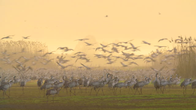 Common Crane (Grus grus), wintering in the Hula Valley, Israel