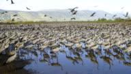 Common Crane (Grus grus), wintering in the Hula Valley, Israel
