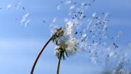 Common Dandelion, Taraxacum officinale, seeds from 'clocks' being blown and dispersed by wind against blue Sky, Slow motion.
