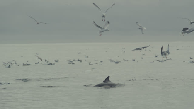Common dolphins (Delphinus delphis) and seagulls (Larinae) fish in Irish sea, Ireland