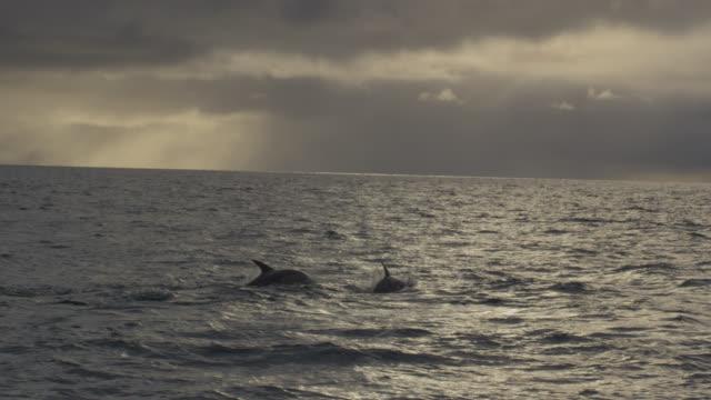 Common dolphins (Delphinus delphis) surface in Irish sea at sunset, Ireland
