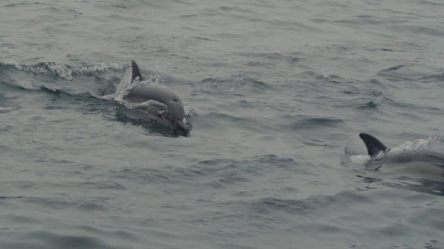 Common dolphins (Delphinus delphis) surface in Irish sea, Ireland