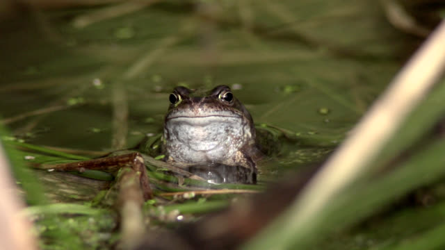 'Common frog in a pond, high-speed'