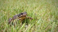 Common Frog on the Grass Jumps Away
