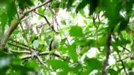 Common green magpie bird.