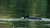 SLO MO MS Common Loons (gavia immer) on Lake Opeongo at Algonquin Park / Whitney, Ontario, Canada