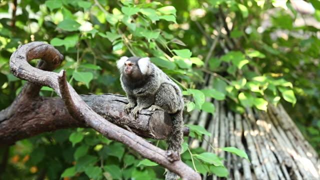 Common marmoset small monkey.