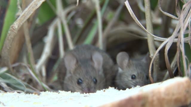 Common mice (Mus musculus) nibble at sandwich.  Alien species. Australia