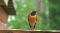Common Redstart (Phoenicurus)