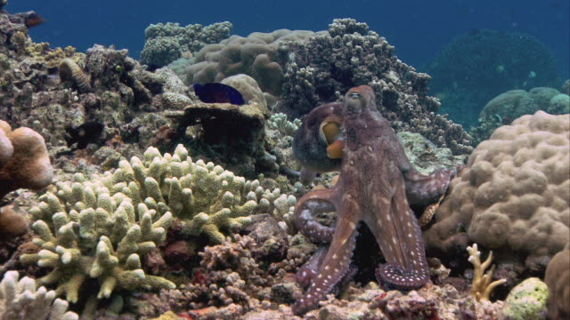 Common reef octopus (Octopus cyanea) on a coral reef. It changes its colour rapidly for camouflage and signalling purposes. Filmed off Sulawesi, Indonesia