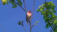 Common Rosefinch (Caprodacus erythrinus)