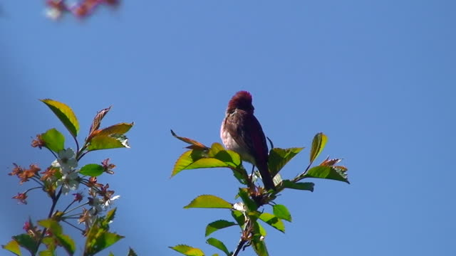 Common Rosefinch (Caprodacus erythrinus)