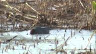 Common teal in Hokkaido