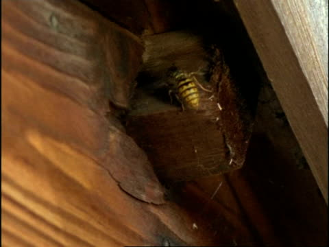 MS Common Wasp (Vespula vulgaris) arriving at, and entering nest in roof of shed, England