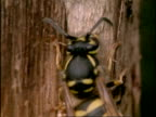 CU Common Wasp (Vespula vulgaris) collecting wood fibres, England