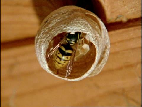 MCU Common Wasp (Vespula vulgaris) constructing internal cells of nest, England
