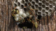 Common Wasp, vespula vulgaris, Group on Nest, Adults working and cleaning  Cells, Real Time