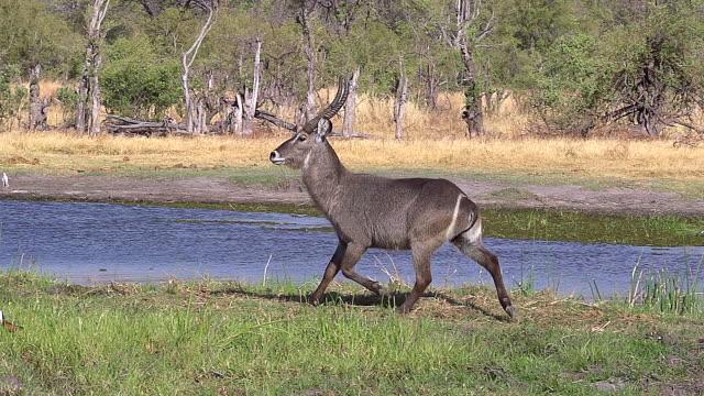 MS SLO MO TS Common Waterbuck (kobus ellipsiprymnus) Male running along Khwai River at Okavango Delta / Moremi Reserve, Africa, Botswana