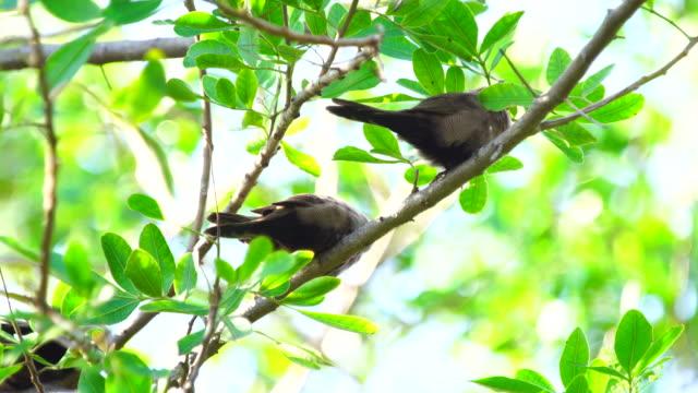 Common waxbill on Branch