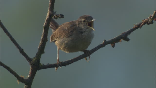 Common wren sings in spring woodland, UK