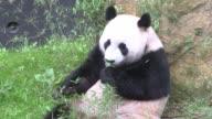 Con cautela al principio pero despues con curiosidad dos pandas gigantes caminaron en su nuevo encierro al aire libre en un zoologico holandes el...