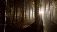 T/L Floresta de coníferas ao amanhecer