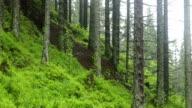 Nadelwald wächst auf einem Hügel